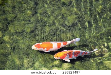 Two Fancy carps (Koi fish, Cyprinus carpio) in pond. Copy space for text