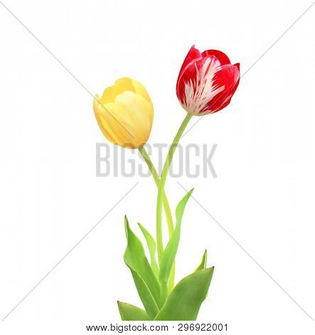 Two tulips of red and yellow colors. Isolated on white background