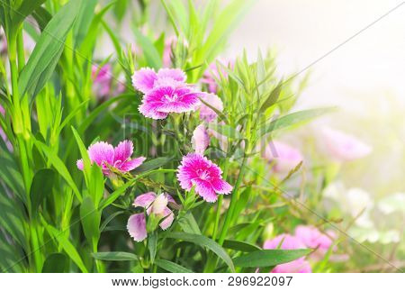 Spring sunny background with pink carnation flowers. Copy space for text. Mockup template