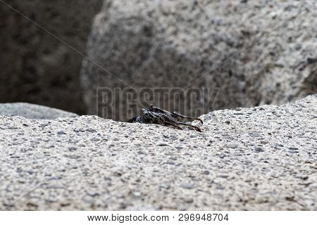 Single Black Crab Crawling On The Edge Of A Cement Block. This Photo Is Taken On Madeira, Portugal