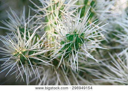 Teddy Bear Cholla Cactus - Cylindropuntia Bigelovii. Cactus With Long White Needles