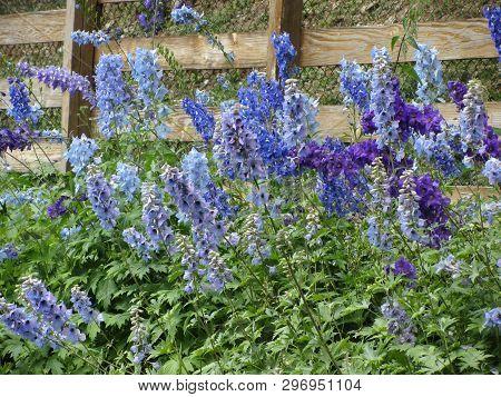 Many Beautiful Purple And Blue Flowers ( Delphinium Elatum, Alpine Delphinium, Candle Larkspur ) Blo