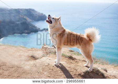 Dog Japanese Akita Inu On Vacation At Sea Traveling