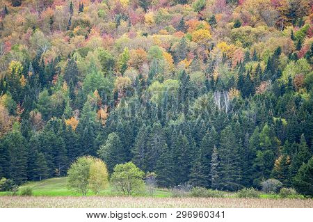 Autumn Foliage Brightening Quebec Hillside On Misty Fall Afternoon