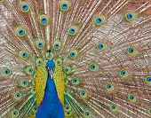 Male peacock displaying his feathers spread out poster