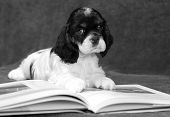 six week old American cocker spaniel puppy reading a book - champion bloodlines poster