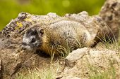 A young yellow-bellied marmot (marmota flaviventris) showing no movement by the side of a trail in Yellowstone National Park. poster