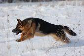 German Shepard Dog at winter.  Near Kiev,Ukraine poster