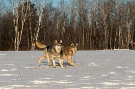 Two Grey Wolves (canis Lupus) Trot Together In Field Winter - Captive Animals