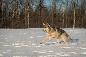 Grey Wolf (canis Lupus) Leaps Left In Field Winter - Captive Animal