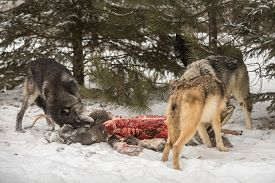 Pack Of Grey Wolves (canis Lupus) At Deer Carcass Winter - Captive Animals