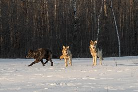 Three Grey Wolves (canis Lupus) Stand In Field Winter - Captive Animals