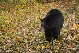 Black Bear (ursus Americanus) Steps Forward Amongst Leaves Autumn - Captive Animal