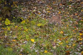 Bobcat (lynx Rufus) Stalks Through Grass And Leaves Autumn - Captive Animal