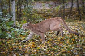 Cougar (puma Concolor) Runs Left Autumn - Captive Animal