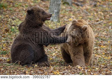 Two Bears Playing Or Fighting In The Autumn Forest. Danger Animal In Nature Habitat. Big Mammal. Wil