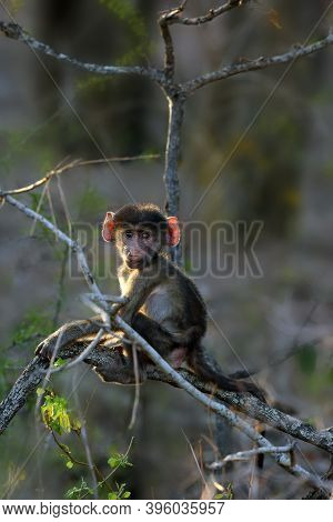 The Chacma Baboon (papio Ursinus) Baby On A Branch. A Small Baboon With Ears Lit By The Sun Sits On