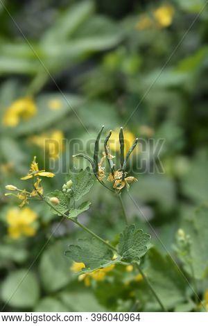Greater Celandine Seed Pods - Latin Name - Chelidonium Majus