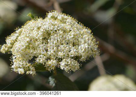 Wrinkled Viburnum White Flower - Latin Name - Viburnum Rhyridophyllum