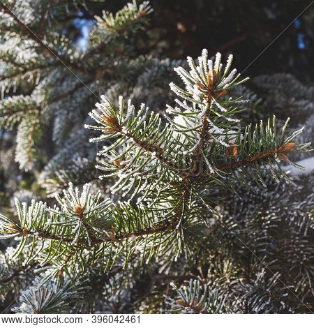 Beautiful Spruce Branch Covered With Hoar Frost.