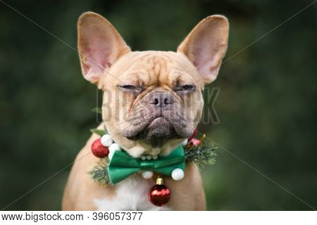 Angry Red Fawn French Bulldog Dog Wearing Seasonal Christmas Collar With Green Bow Tie On Blurry Gre
