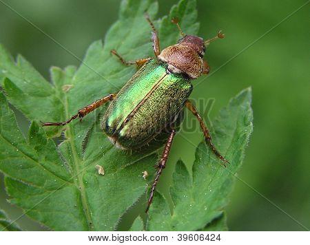 Dichelonyx Albicollis