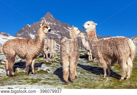 Llama Or Lama, Group Of Lamas On Pastureland,  Andes Mountains, Peru