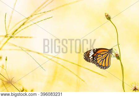 Black And Brown Striped Butterfly Stand On Flower In  Garden At Thailand