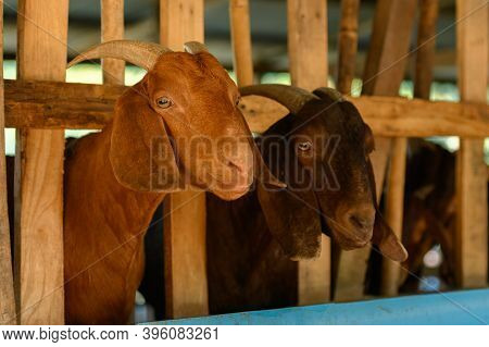 Brown Goats In Corral On The Farm.  Two Goats Standing In Wooden Shelter. Benefits Of Goat Milk