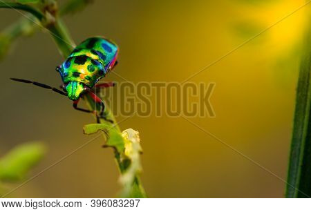 Colorful Of Jewel Beetle Green Lady Bug On Leaf In Nature Background At Thailand, Close Up Green Ins