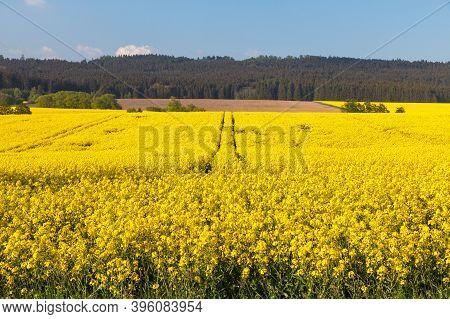 Field Of Rapeseed, Canola Or Colza In Latin Brassica Napus, Rape Seed Is Plant For Green Energy And