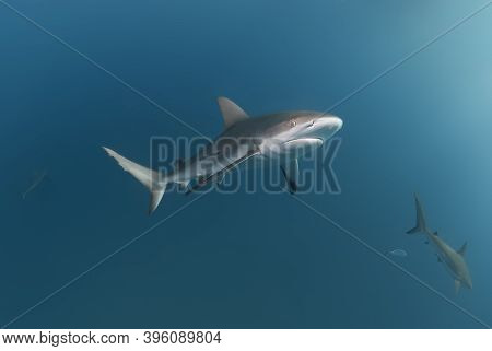 Couple Of Caribbean Reef Shark Swimming In The Blue