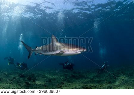 Caribbean Reef Shark (carcharhinus Perezi) Swimming Close To A Group Of Divers