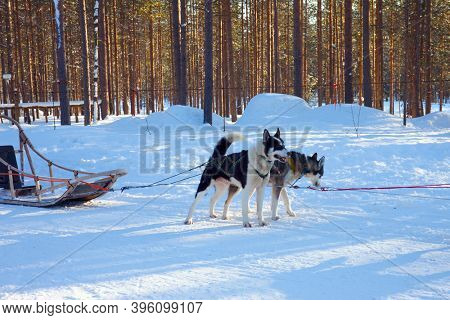 Husky sled carrying a sleigh with tourists. The sun is low on the horizon. Travel to Santa Claus. Short winter day in the Lapland.  Exotic trip to the Arctic.