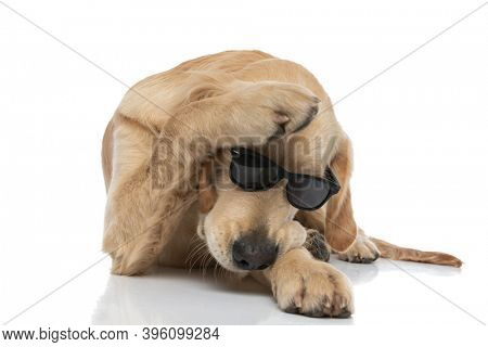 cool golden retriever dog protecting his head and lying down against white background