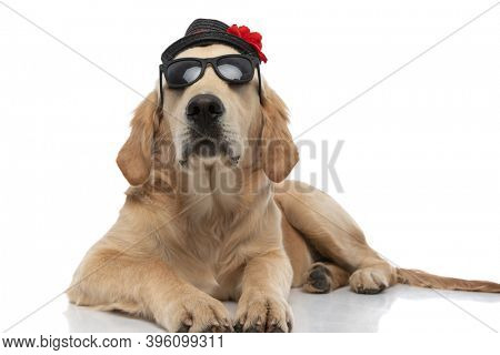 cool golden retriever dog lying down and wearing his sunglasses and hat with attitude on white background