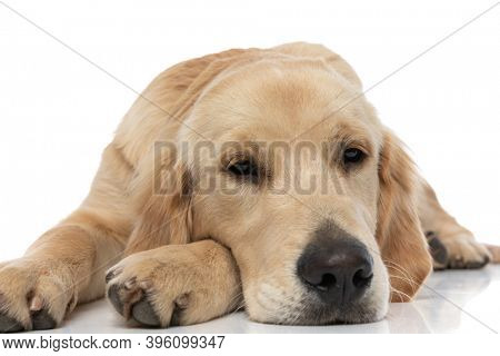 sleepy golden retriever dog resting his head on his paw and trying to fall asleep against white background