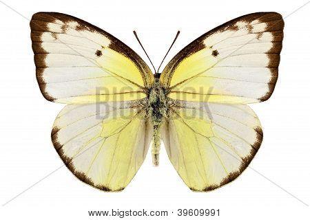 Butterfly Species Catopsilia Pomona