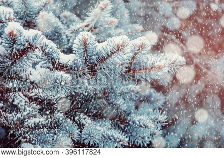 Winter trees in the forest. Blue winter pine tree branches under falling snow, closeup of winter forest nature, winter pine tree under falling snow. Winter natural landscape