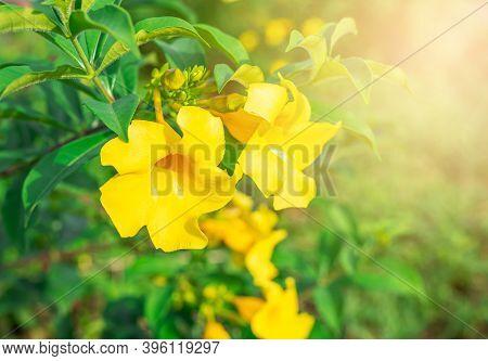 Caesalpinia Flower On Blurred Green Leaf Background, Caesalpinia Is A Genus Of Flowering Plants In T
