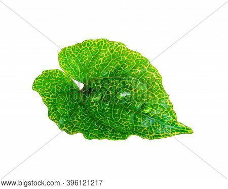 Tropical Green Leaf With Drop Water Isolated On White Background, Cottage Leaves, Leaf From Natural