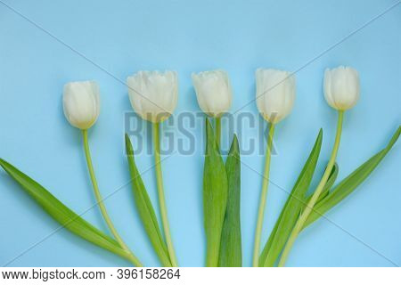White Tulips Flowers Set On Light Blue Background.floral Card With Spring Flowers. Floral Background