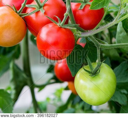 Tomatoes Growing In A Greenhouse. Fresh Tomatoes Plants. Ripe Organic Tomato In Garden.