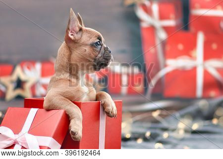 Cute French Bulldog Dog Puppy Peeking Out Of Red Christmas Gift Box With Ribbon Surrounded By Season