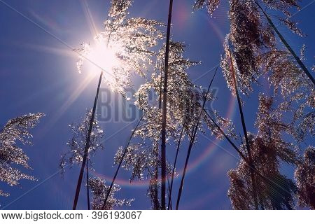 Warm Day In Winter Weather. Reed Against The Winter Sun. Tall Grass, Sun And Blue Sky., Background
