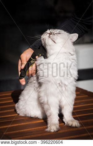 Man Grooming His Domestic Cat With Furminator Or Grooming Tool. Stroking Fur And Taking Care Of Cat.