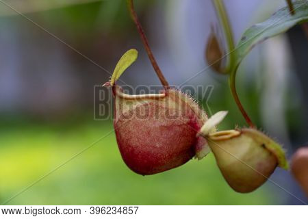Nepenthes Rafflesiana Exotic Carnivorous Plant,nepenthes Hookeriana Meat Eating Plant Fly