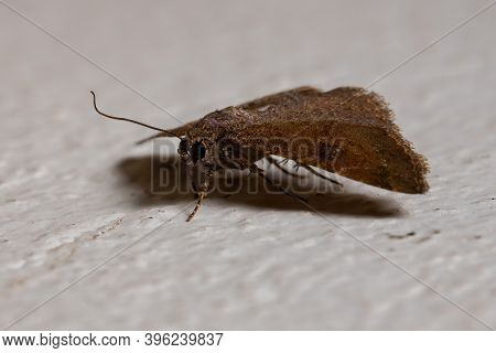 Brazilian Brown Moth Of The Order Lepidoptera