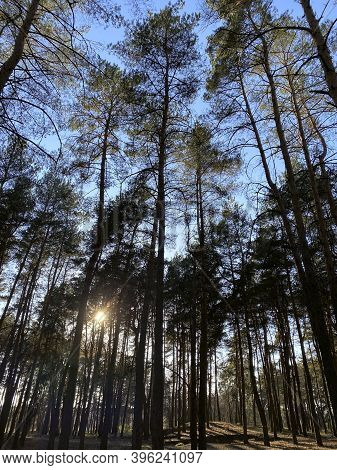 Nature Background. Forest Landscape. The Sun's Rays Make Their Way Through The Tall Trees In The For
