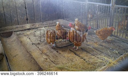 Colorful Chickens Under The Tree. Beautiful Brown Hen In The Chicken Coop. Private Chicken Coop With